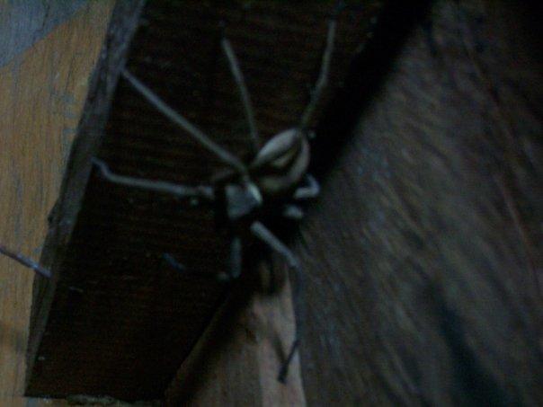 Tarantula, Si Phan Don