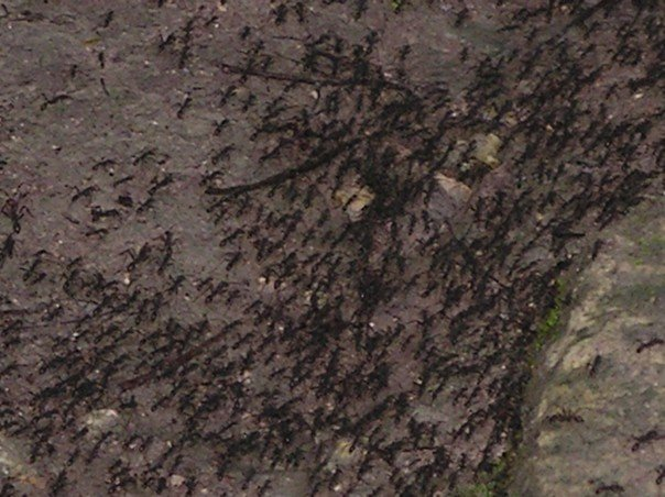 A swarm of huge ants, Tikal