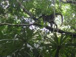 A monkey in the trees at Tikal