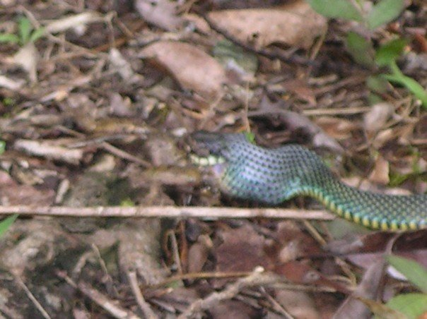 A snake eating a frog, Tikal