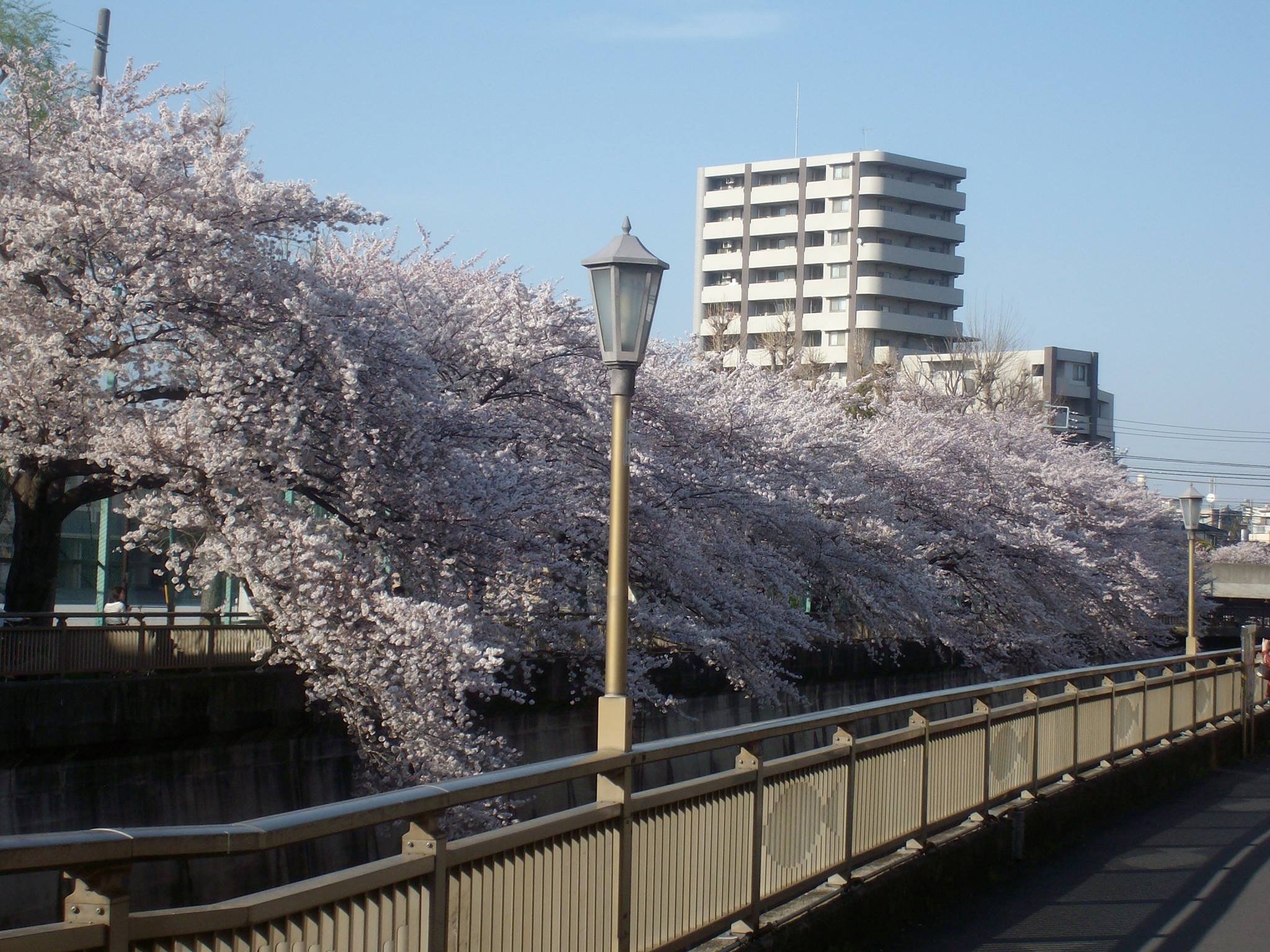 Cherry blossoms along the river in Tokyo
