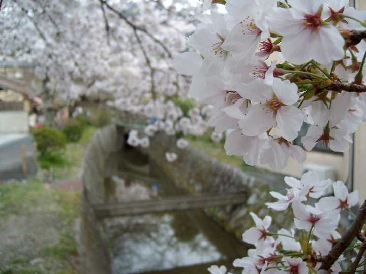 Cherry blossoms along the Philosopher's Path