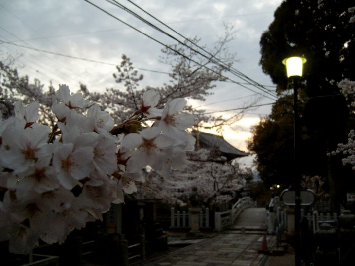 Cherry blossoms at Kurodani temple