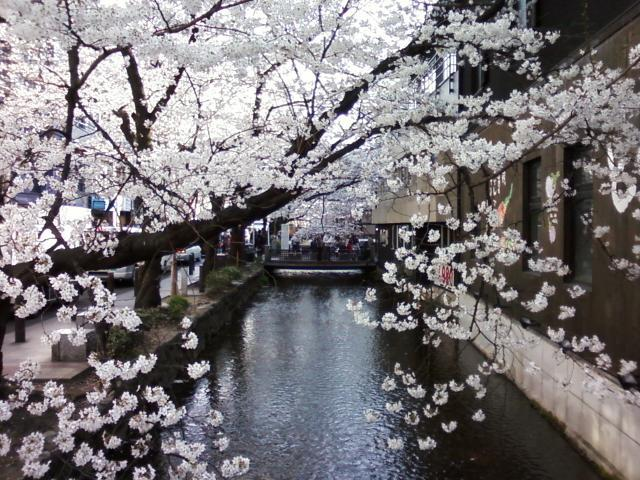 Cherry blossoms along the canal by Kiyamachi-dori, central Kyoto