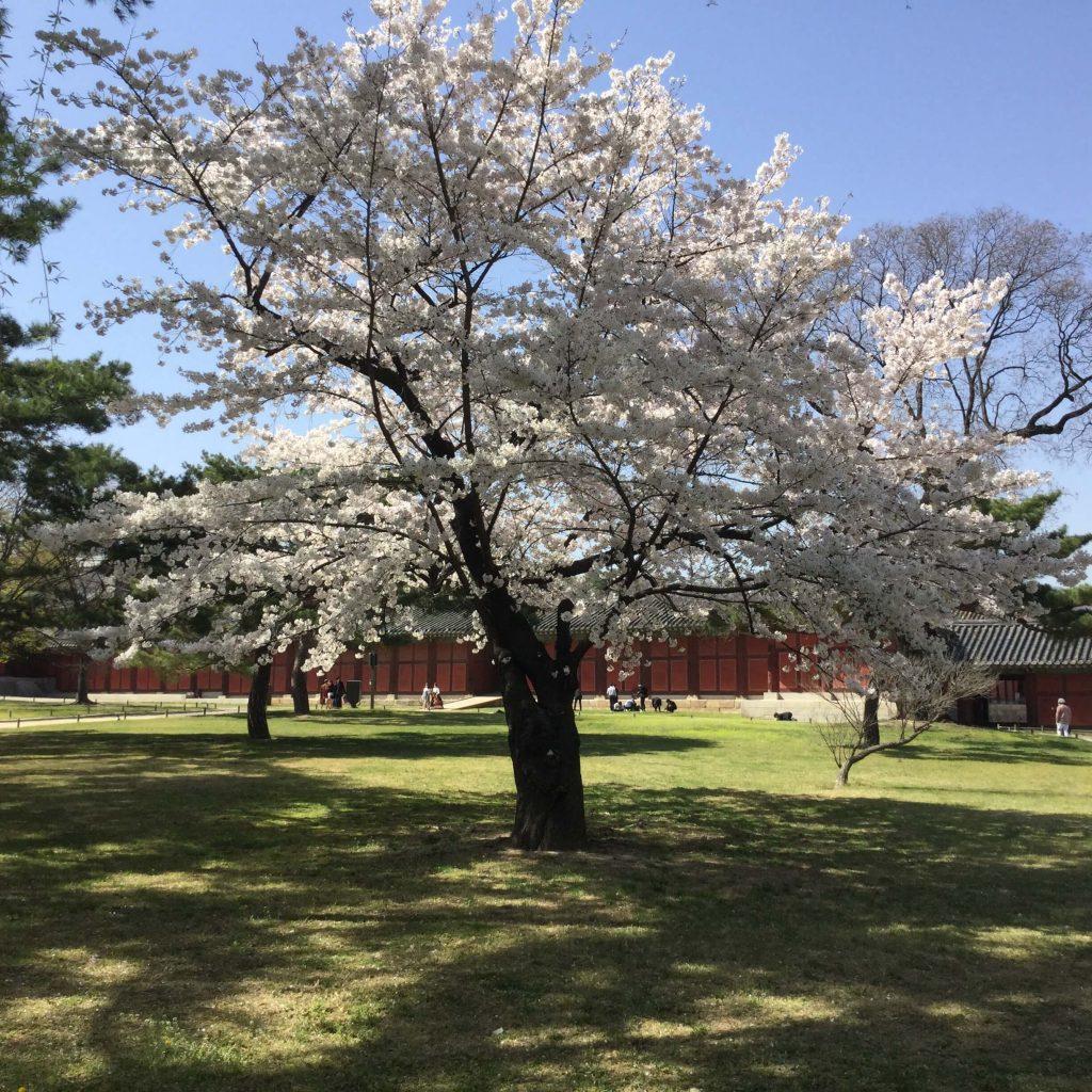 Full bloom at Changgyeonggung palace