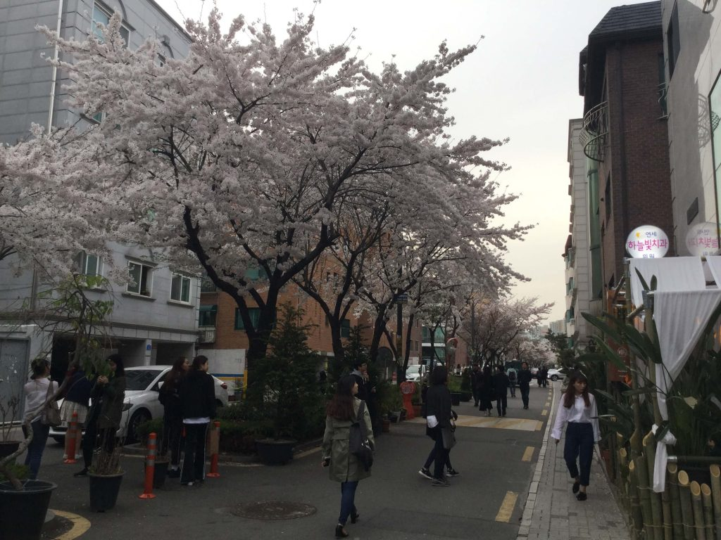 Cherry blossoms along a Hongdae street