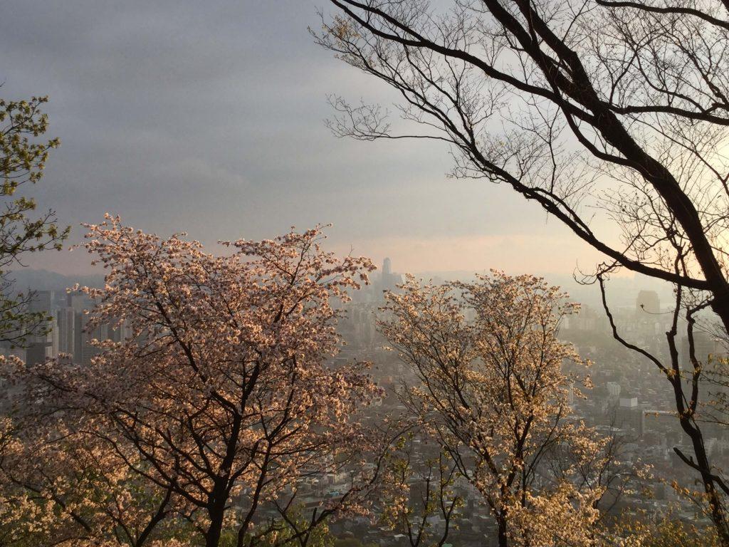 Namsan cherry blossoms