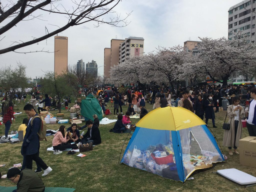 The cherry blossom festival at Yeouido Park
