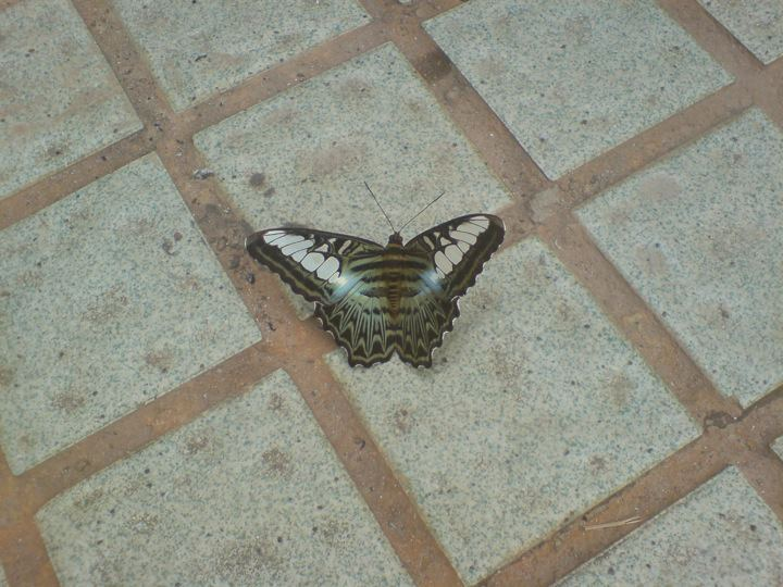 An enormous moth with striking markings