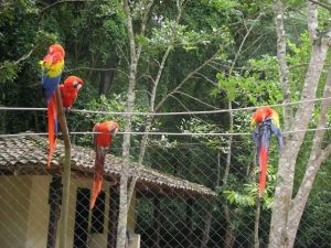 Parrots at the ruins in Copan
