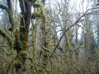 Moss-covered trees in the forest near Mt Baker
