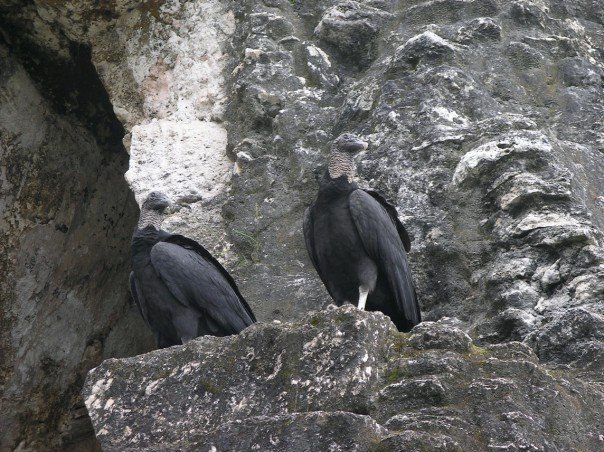 Vultures on a pyramid wall, Tikal