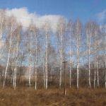 Birch trees in Siberia