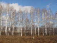 Birch trees in Siberia
