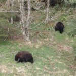 Bears by the Cypress road