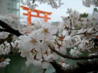The Okazaki Canal, Heian Shrine torii gate, and cherry blossoms