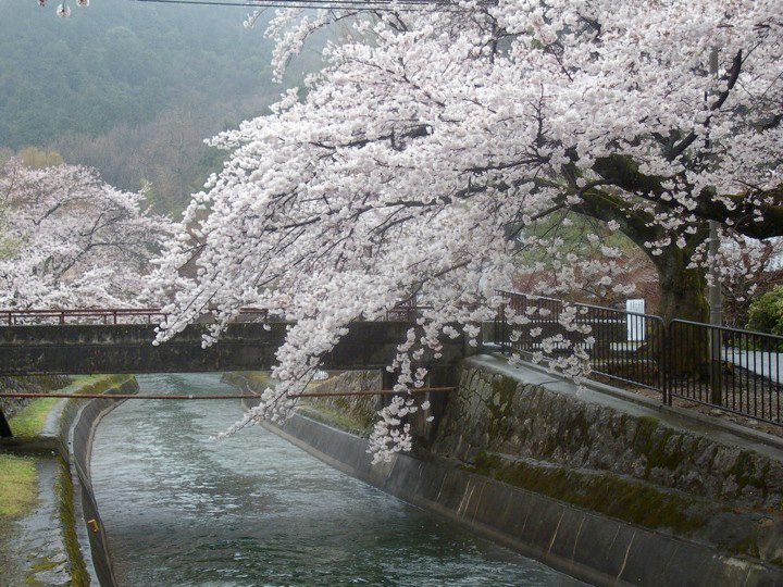 Cherry blossoms along the Lake Biwa Canal