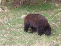 One of the bears we saw at Cypress