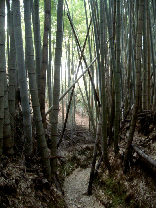 Bamboo forest, Mt Inari