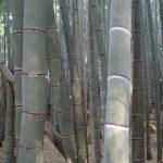 The bamboo forest behind Fushimi Inari