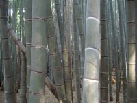 The bamboo forest behind Fushimi Inari