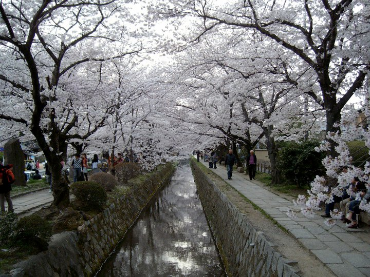 Tetsugaku-no-michi during cherry blossom season