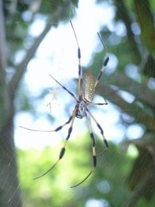 Orb spider in Utila