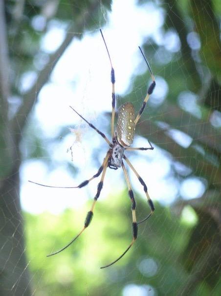 Orb spider in Utila, Honduras