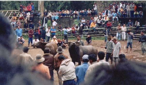 A traditional bull fight in Bukittinggi