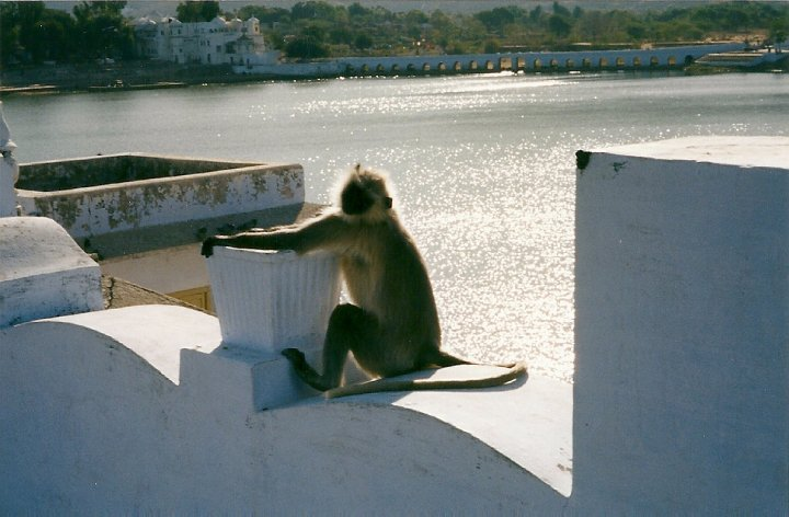 Monkey by Pushkar Lake