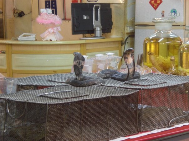 Cobras on display in Snake Alley, Taipei