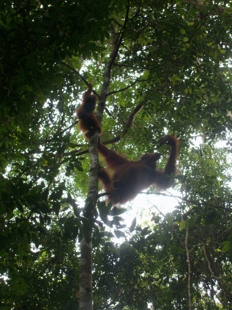 An orangutan mother & infant in Gunung Leuser park, near Bukit Lawang