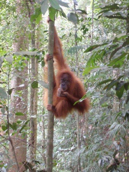 An orangutan in Gunung Leuser park, near Bukit Lawang