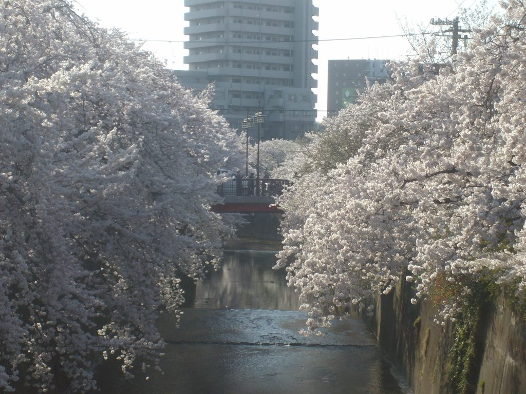 Cherry blossoms along the Shakujii river