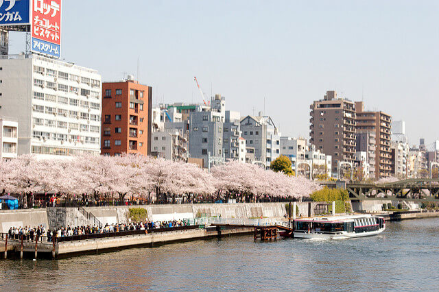 Cherry blossoms along the riverbank in Asakusa