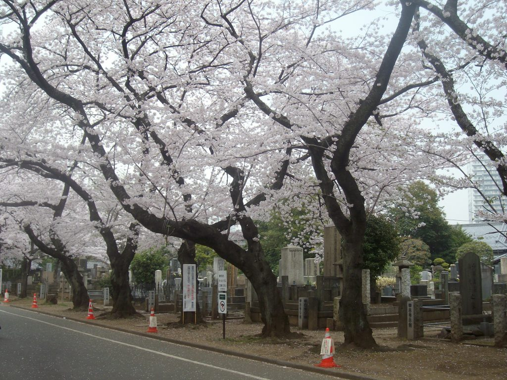 Cherry blossoms at Yanaka Cemetery