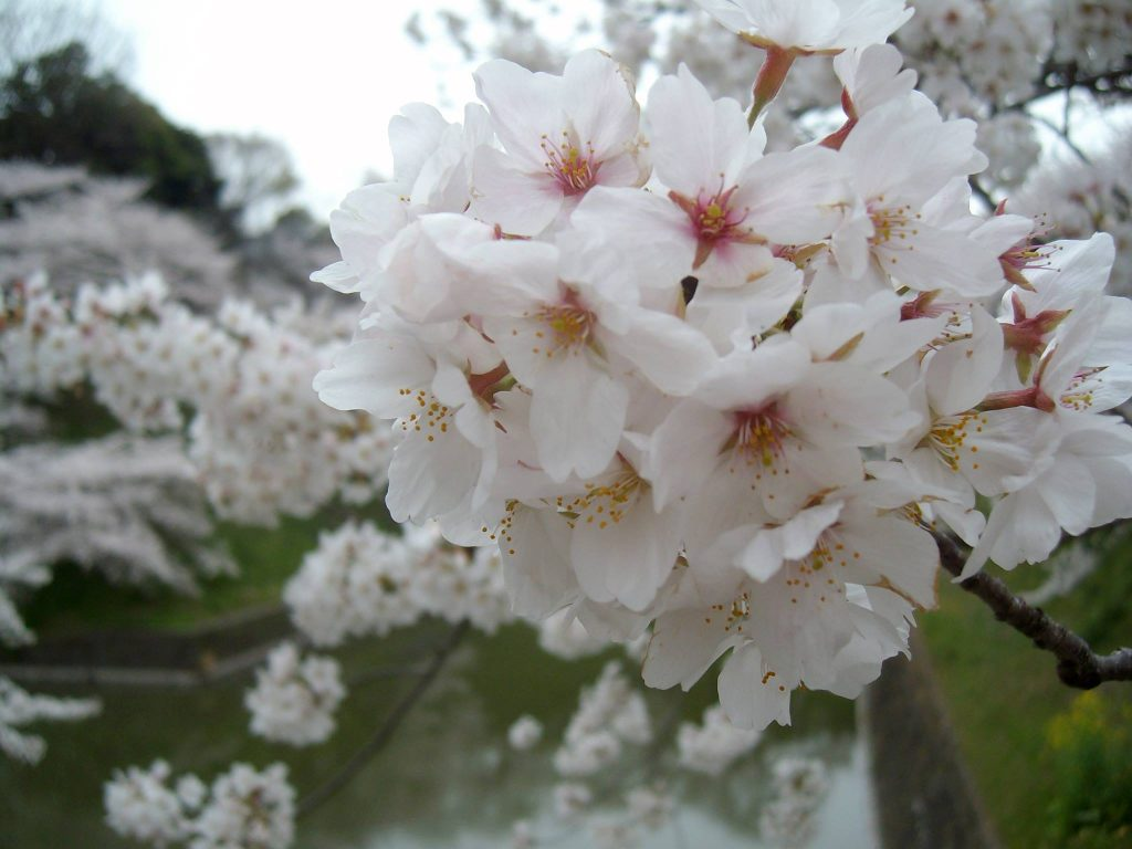 Cherry blossoms at Chidori-ga-fuchi