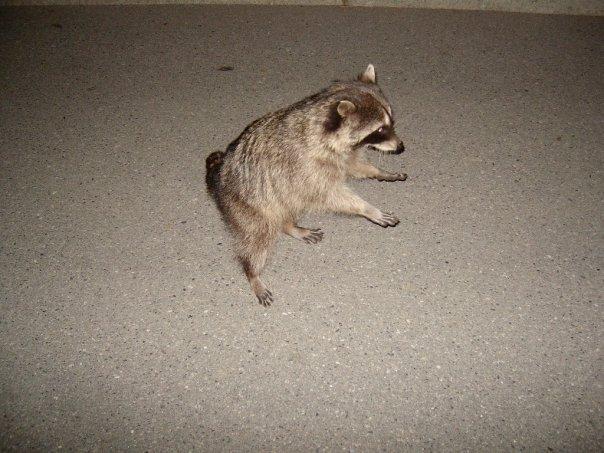 Dancing raccoon, Stanley Park, Vancouver