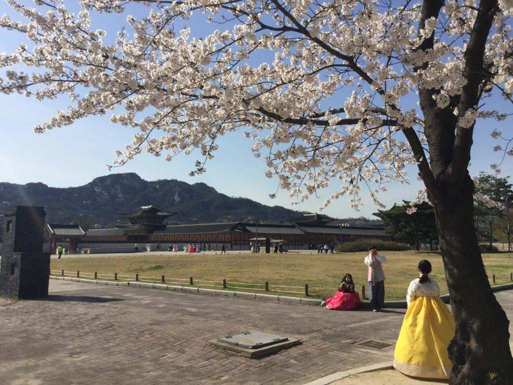 Cherry blossoms at Gyeongbokgung palace, Seoul
