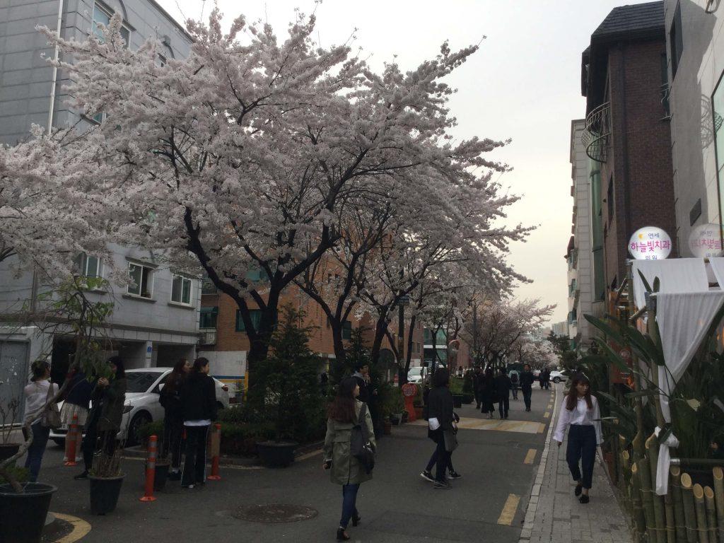 Cherry blossoms along a Hongdae street