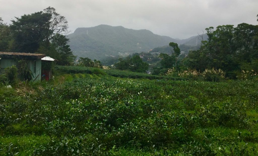 Maokong is famous for tea plantations like this