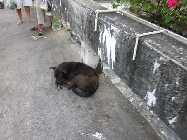 Thai soi dogs