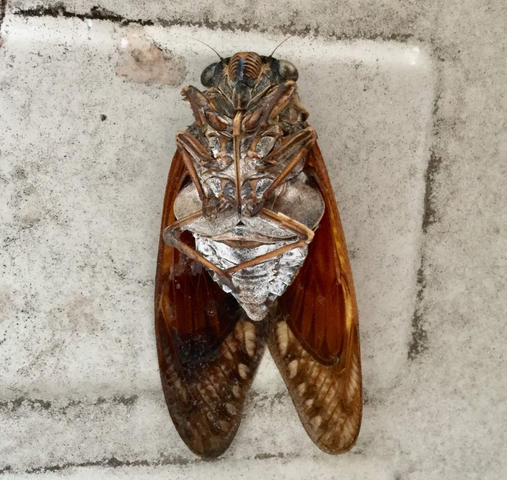 Japanese cicada