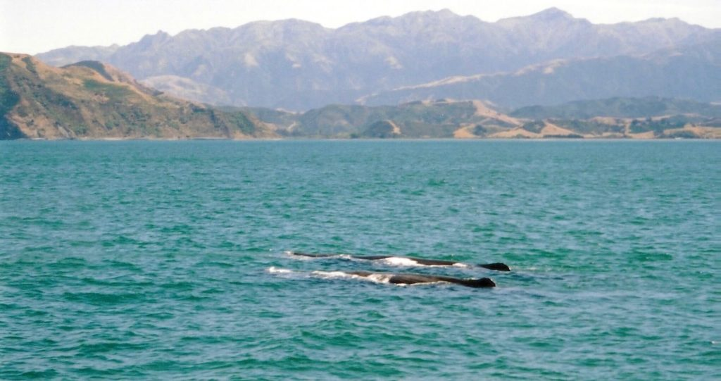 Sperm whales in Kaikoura